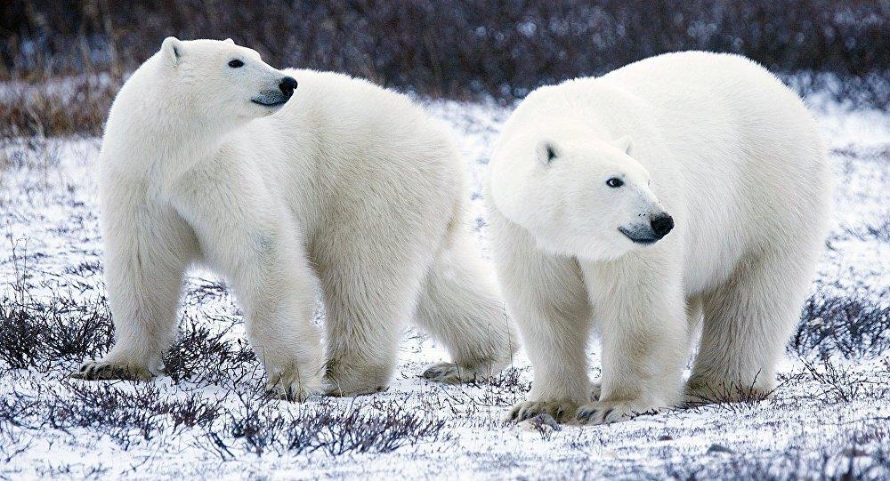 Imagenes De Osos Polares: El 'oso Blanco' De La Paz Entre Rusia Y EEUU