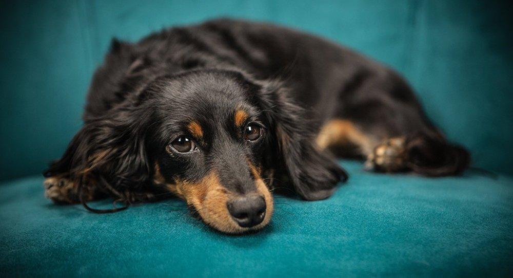 Un perro de la raza dachshund