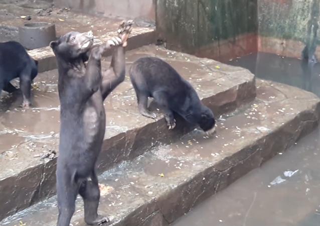 Osos esqueléticos suplican por comida en un zoológico de Indonesia