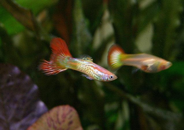 Una pareja de peces guppy