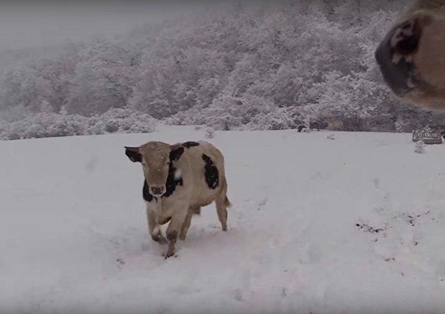 Vacas en un prado nevado
