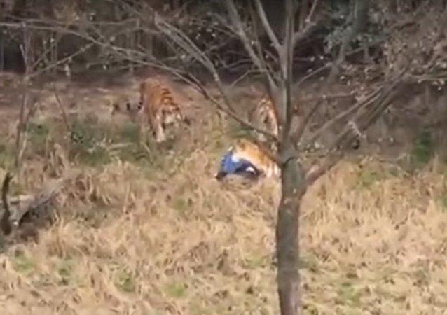 Los tigres que han atacado a un hombre en un zoo chino