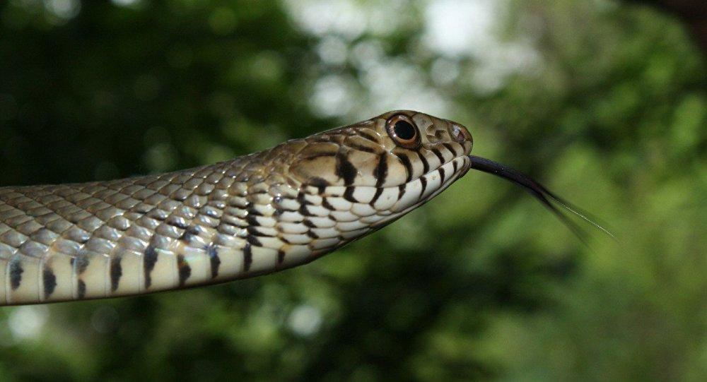 Una serpiente de la especie Ptyas mucosa
