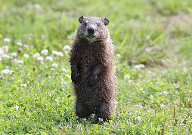 Una marmota