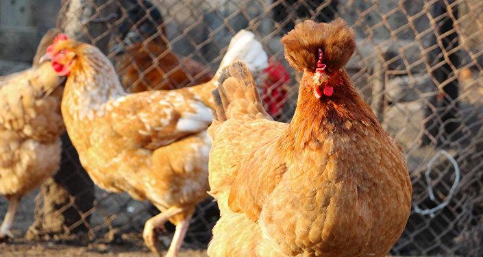 Pollos en un corral (imagen referencial)