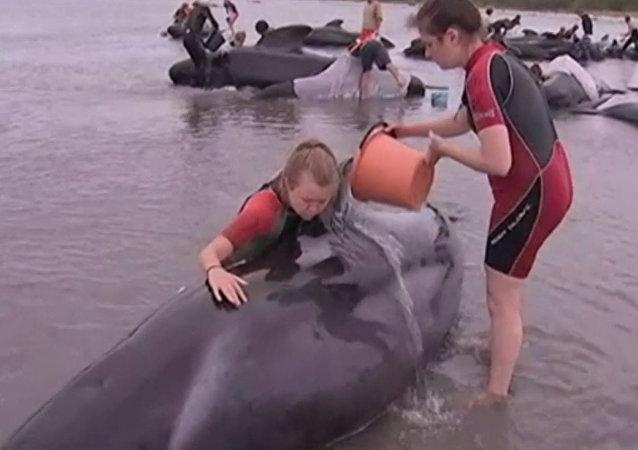 Los voluntarios vierten agua sobre las ballenas varadas en Nueva Zelanda