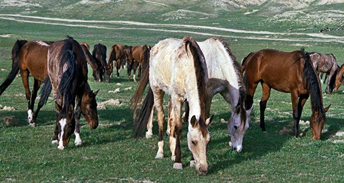 Caballos en Turkmenistán