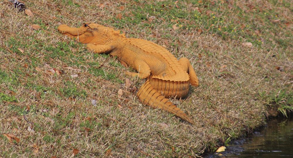 Un insólito cocodrilo con piel anaranjada