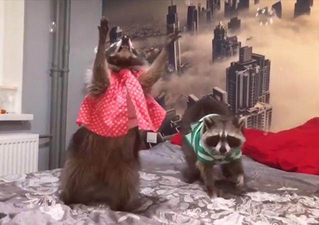 Los mapaches Fury y Funny
