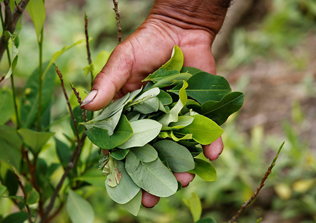 A peasant holds up coca leaves collected from his crops in Cauca, Colombia