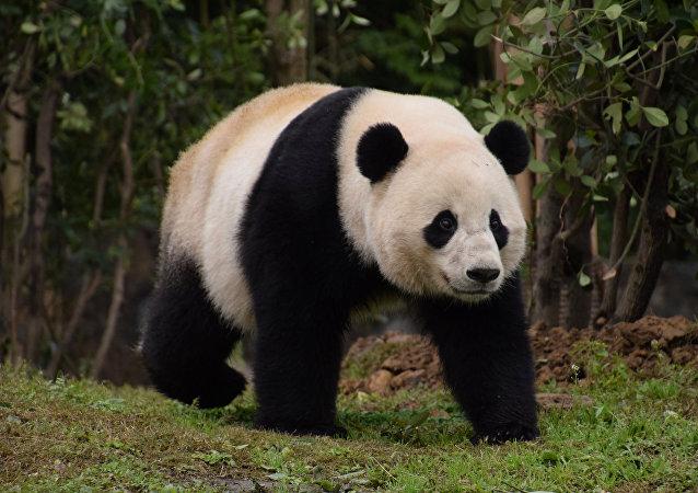 Panda Bao Bao en China