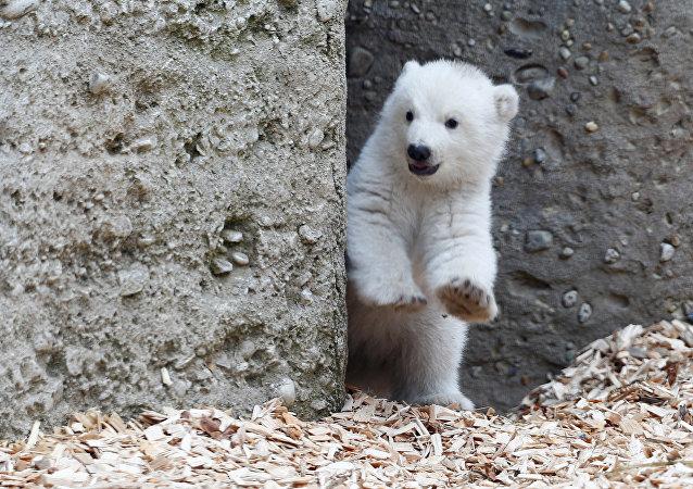 Los primeros pasos de un osezno polar