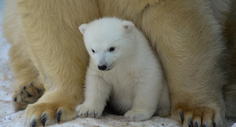 Imagenes De Osos Polares: El Primer Paseo De Una Cría De Oso Polar En Yakutia
