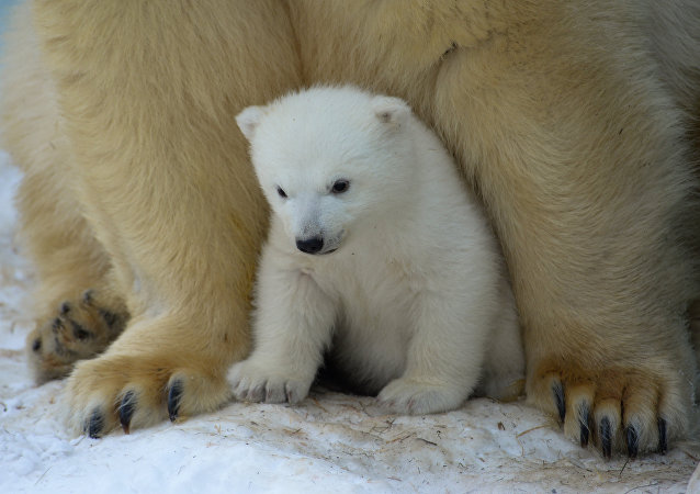 Osos polares (archivo)