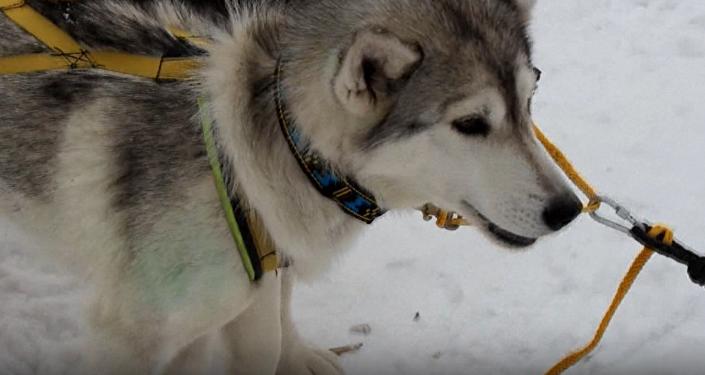 El lago Baikal acoge espectacular carrera de huskies en trineos