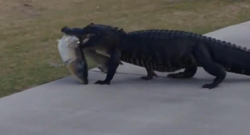 Un cocodrilo da una vuelta por un campo de golf en EEUU