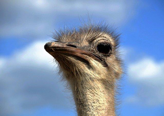 Un avestruz (archivo)