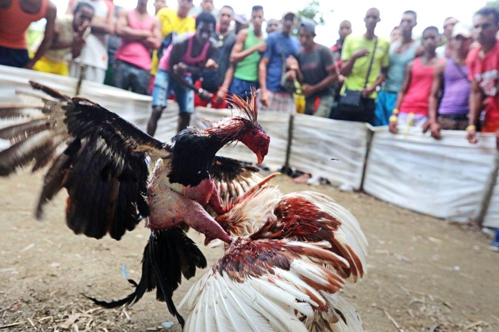 Las peleas de gallos en Cuba