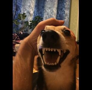 Un feroz perro que 'habla' conquista las redes sociales