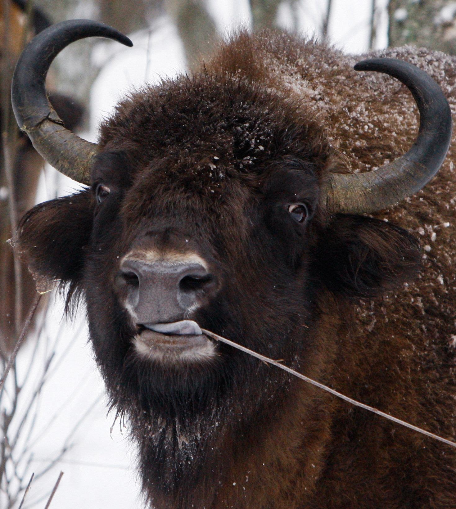 Q Es El Bisonte Cinco animales ...