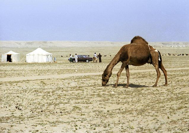 Un camello en Kuwait
