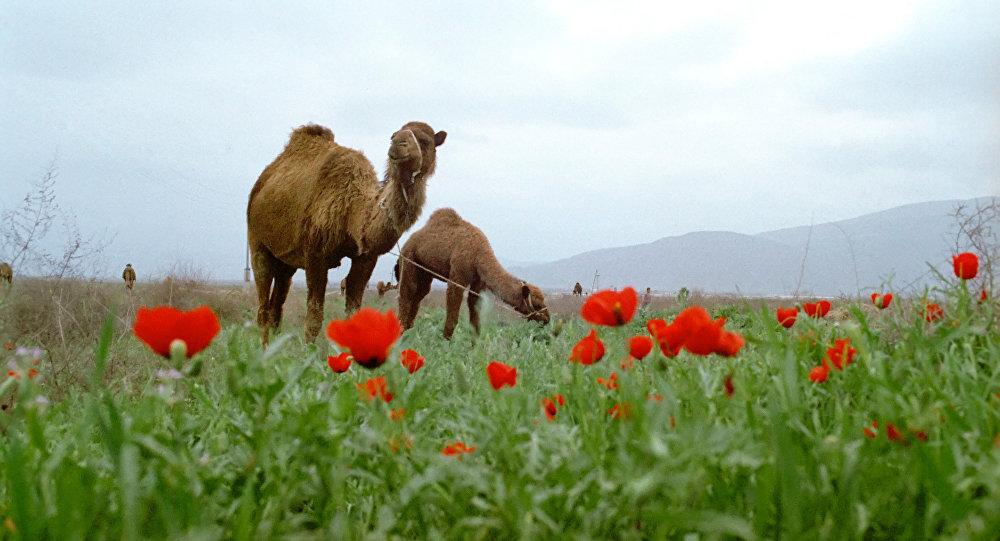 Por qué hay camellos con una joroba y otros de dos? - Sputnik Mundo