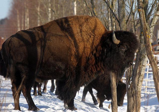 Un bisón (archivo)
