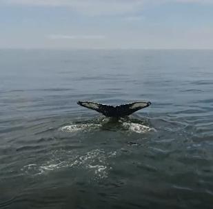 Impresionante e inesperado encuentro con la ballena jorobada en Rusia