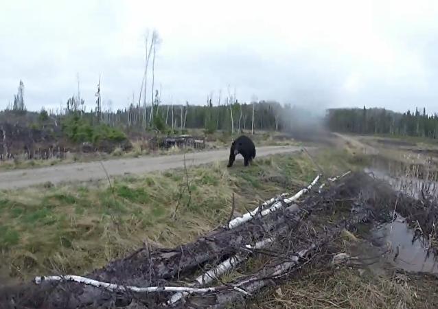 Un oso ataca a un cazador