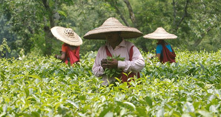 Trabajadores del jardín de té en la India (archivo)