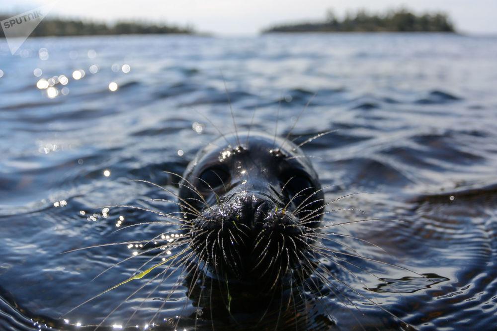 Después de la rehabilitación en el Centro para el estudio y la conservación de los mamíferos marinos del Vodokanal de San Petersburgo, el cachorro de la foca del Baikal, Kroshik, regresó a su elemento nativo del lago Ladoga
