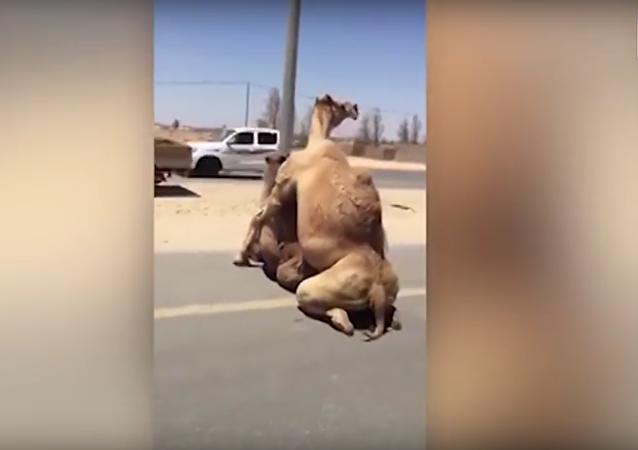 La actividad sexual de dos camellos dificulta el tráfico en una carretera de Dubái