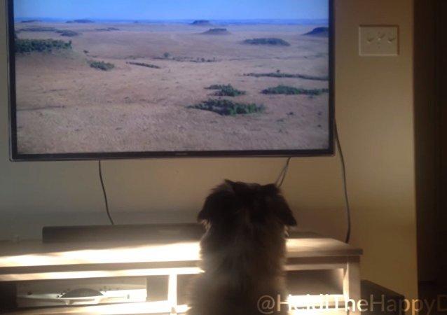 A Heidi, una perra de la raza pastor australiano, le encanta ver televisión.