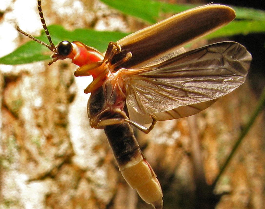 Una luciérnaga de la familia photinus pyralis