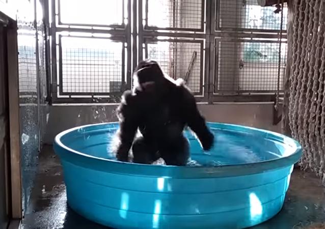 Gorila bailando