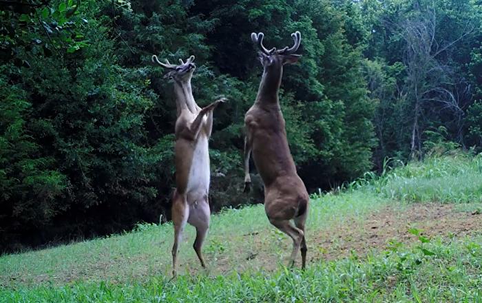 ¿Danza con ciervos? Dos mamíferos se enfrentan en una batalla mortal