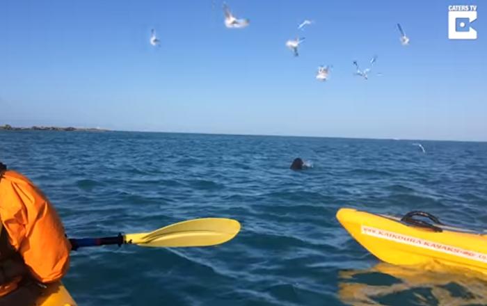 Increíble pelea a muerte entre un león marino y un pulpo gigante