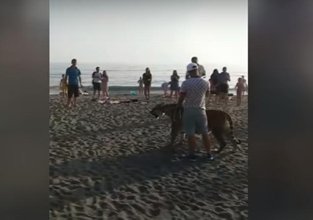Un invitado salvaje en una playa rusa: un hombre pasea un tigre de Amur