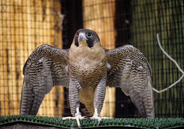 Un halcón peregrino