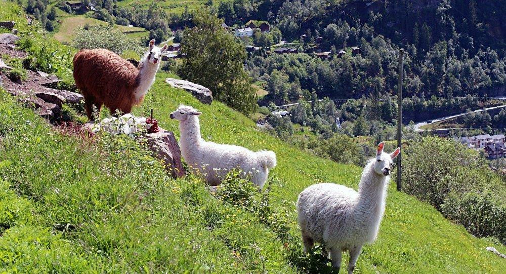 Llamas (imagen referencial)