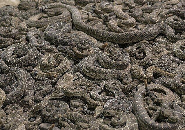 Víbora cascabel