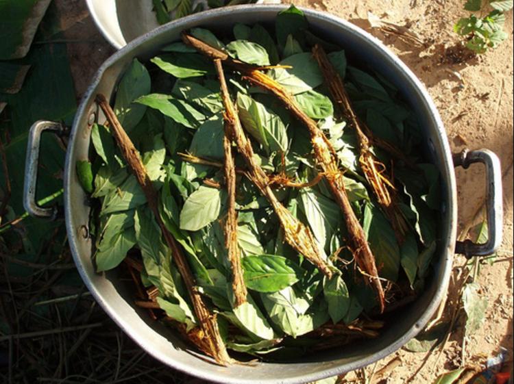 La ayahuasca se obtiene de la cocción e infusión de raíces y plantas.