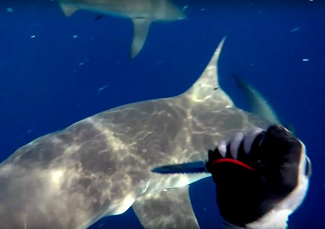 ¡No toquéis mi atún! Un submarinista se defiende a cuchilladas de dos tiburones
