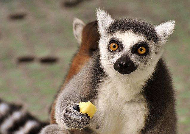Un lémur, comiendo (imágen referencial)
