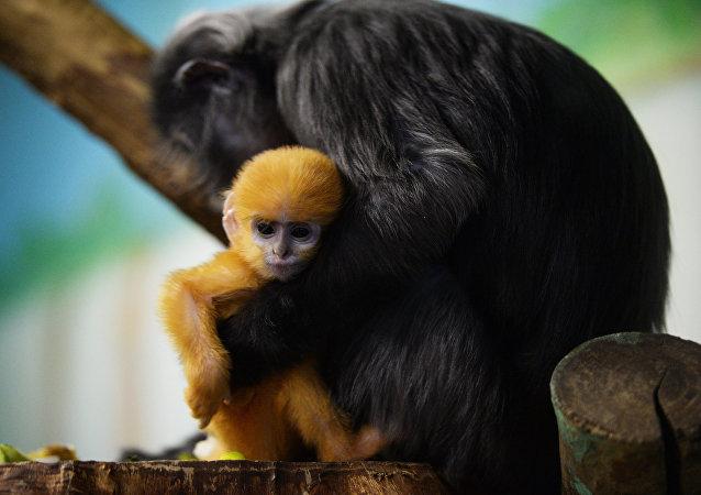 La hembra de surilis con su bebé en el parque zoológico en Novosibirsk