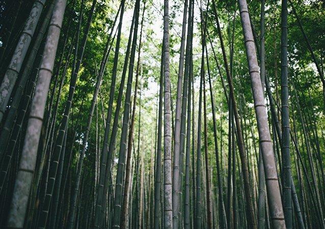 Bambú (imagen referencial)