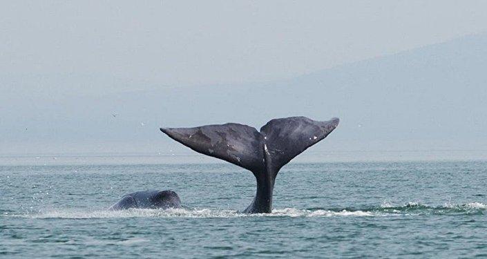 Una ballena boreal