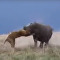 Un hipopótamo carga contra una leona
