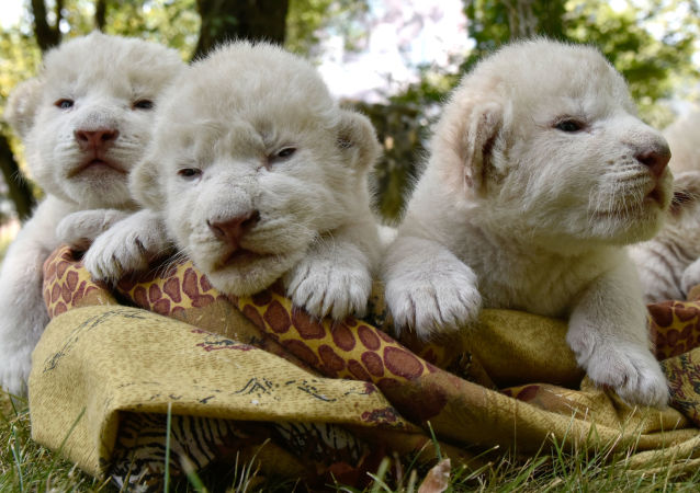 El mejor regalo para el Día del León: nacen en Crimea cuatro cachorros de león blanco