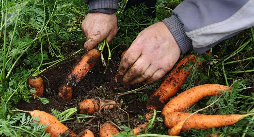 Una persona cultiva zanahorias en Bielorrusia (archivo)